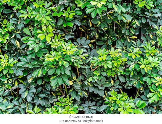 Umbrella tree, Octopus tree, Green leaves wall background