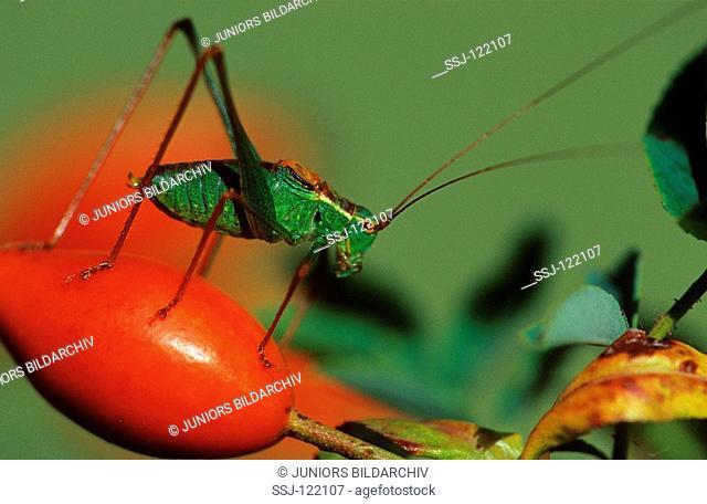 speckled bushcricket - on berry / Leptophyes punctatissima