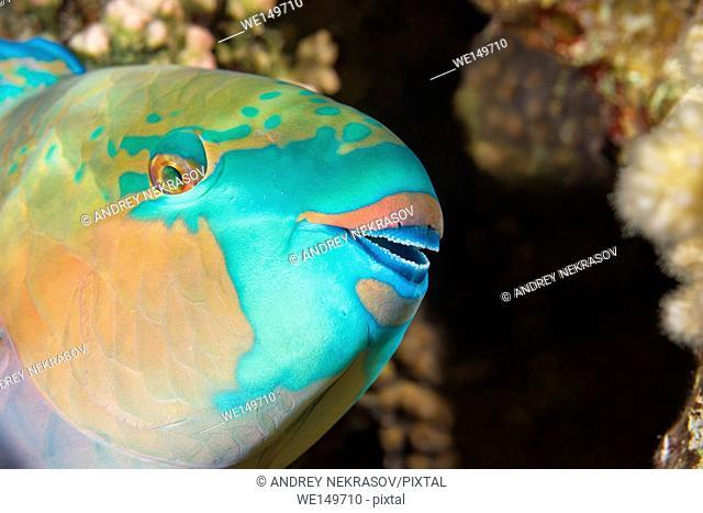 Portrait of Daisy parrotfish or Bullethead parrotfish (Chlorurus sordidus) is sleeping on a coral reef, night diving, Red sea, Sharm El Sheikh, Sinai Peninsula