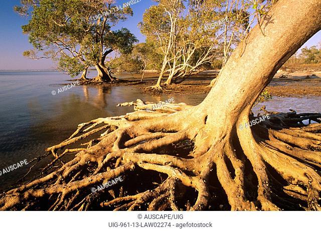 Grey mangroves spreading root base of mature tree in tidal wetland, Moreton Bay Marine Park and Ramsar wetland, southeastern Queensland, Australia
