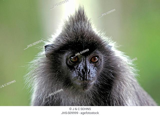 Silvered Leaf Monkey,Trachypithecus cristatus,Silvery Lutung,Silvery Langur,Labuk Bay,Borneo,Malaysia,Sabah,Asia,adult portrait