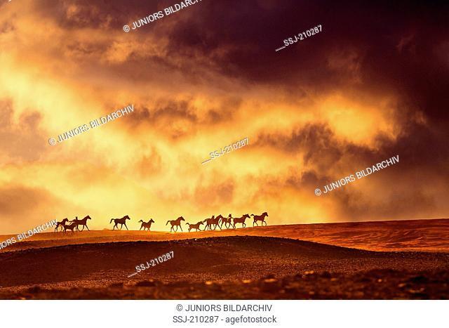 Arabian Horse. Herd trotting in the desert at sunset Egypt