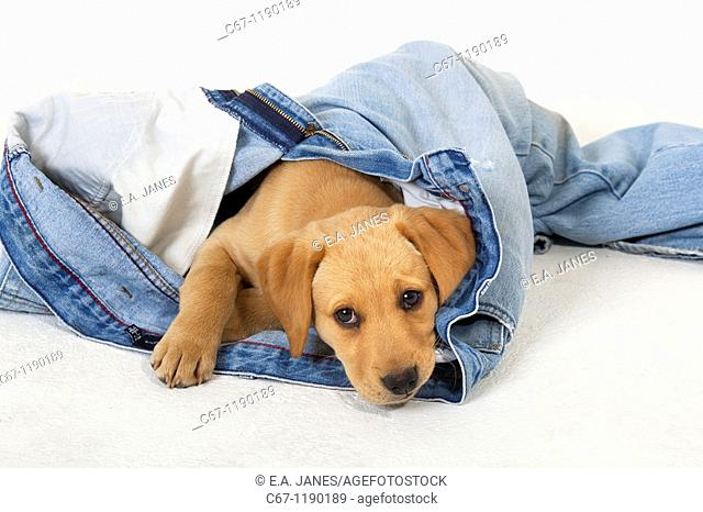 Yellow Labrador Puppy playing withold jeans
