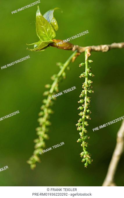 Black Poplar, Populus nigra / Schwarz-Pappel, Populus nigra