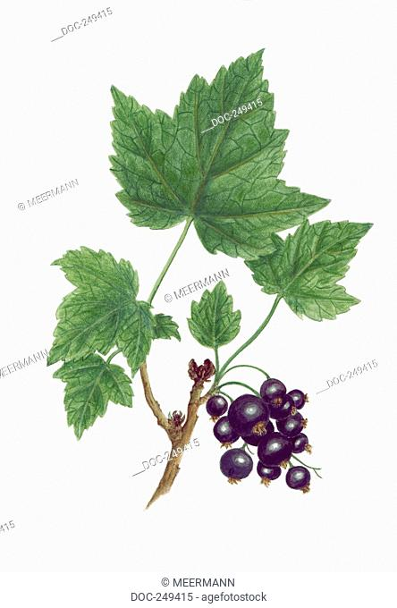 A branch with five leaves and a berry-grape