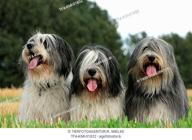 Polish Lowland Sheepdogs