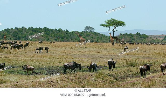 MAASAI GIRAFFE & BLUE WILDEBEEST; MAASAI MARA, KENYA, AFRICA; 10/09/2016
