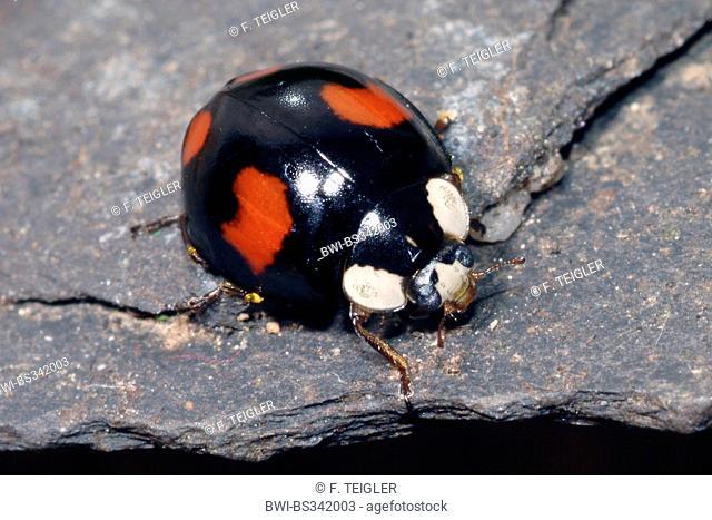 multicoloured Asian beetle (Harmonia axyridis), on a stone, Germany