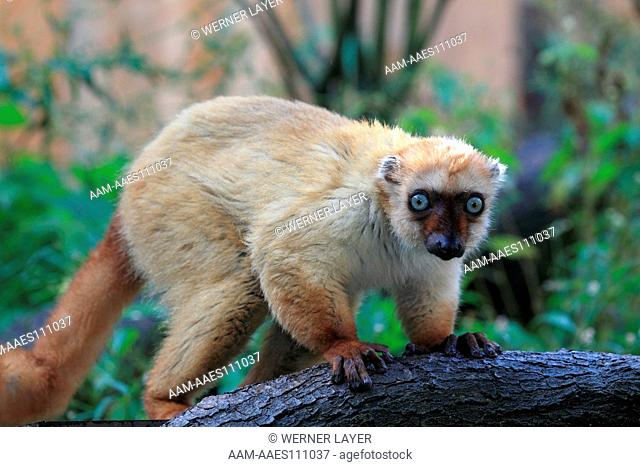 Sclater's Black Lemur or Blue-eyed Black Lemur ( Eulemur flavifrons)
