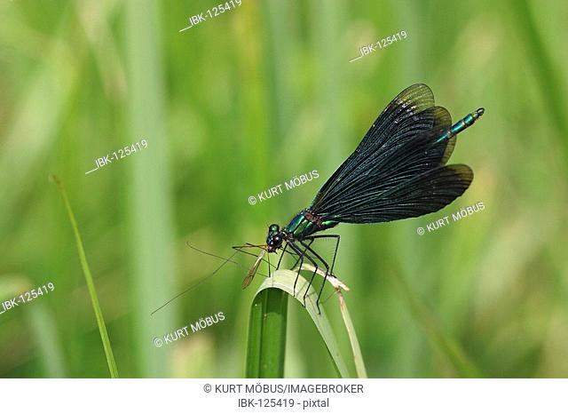 Male Beautiful Demoiselle Calopteryx virgo eating a crane-fly and waving with its wings to attract females