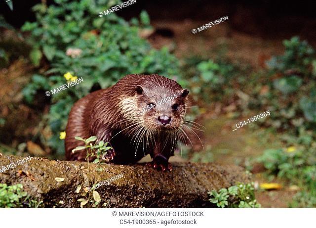 European Otter (Lutra lutra), Esva river, Asturias, Spain