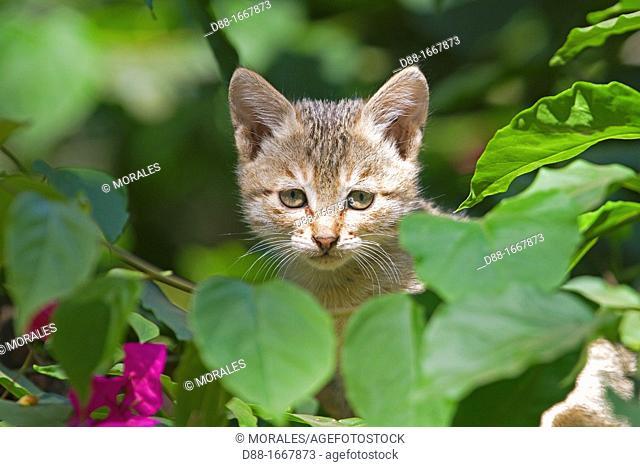 Domestic cat, Tala village, Madhya Pradesh, India