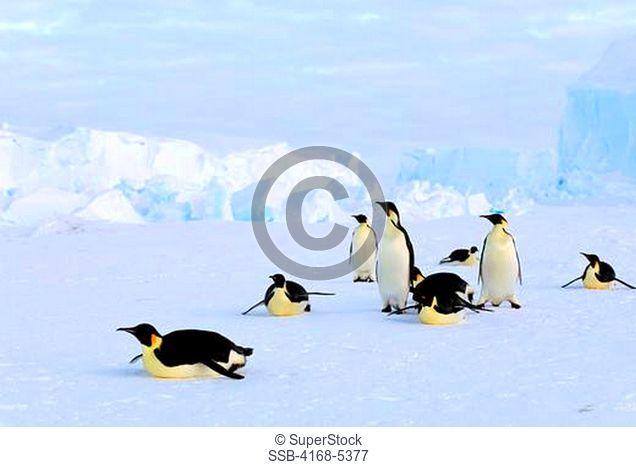 antarctica, riiser-larsen ice shelf, emperor penguins tobogganing, iceberg background