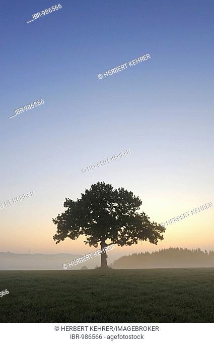 Pedunculate Oak (Quercus robur) before sunrise
