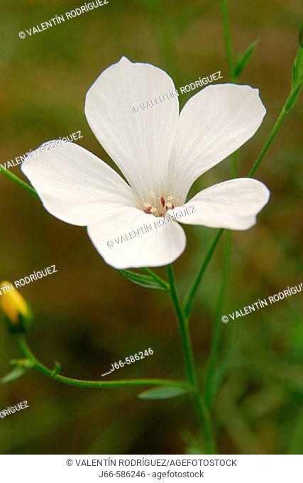 White flax (Linum suffruticosum)