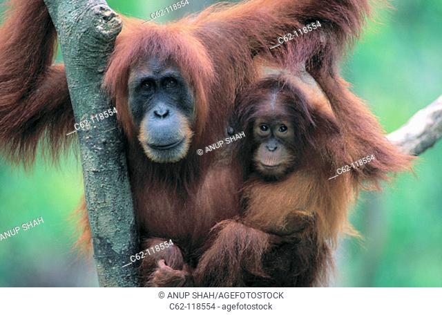 Orang-Utans (Pongo pygmaeus). Mother and baby. Gunung Leuser National Park. Indonesia
