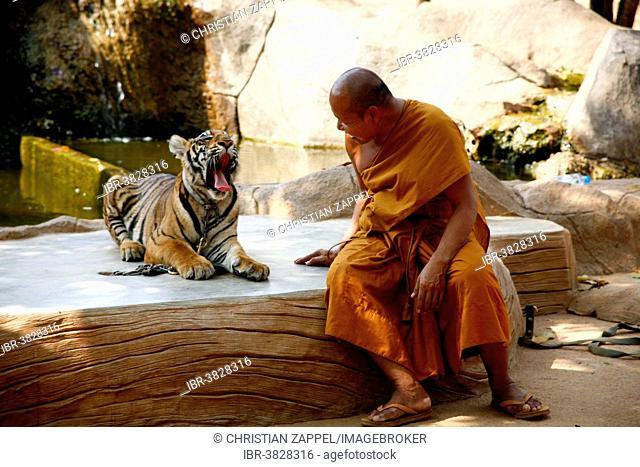 Tiger Temple or Wat Pa Luangta Bua, monk and an Indochinese Tiger (Panthera tigris corbetti), Kanchanaburi, Thailand