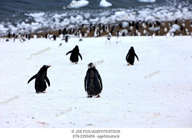 juvenile gentoo penguins walking downhill to Neko Harbour colony Antarctic mainland Antarctica