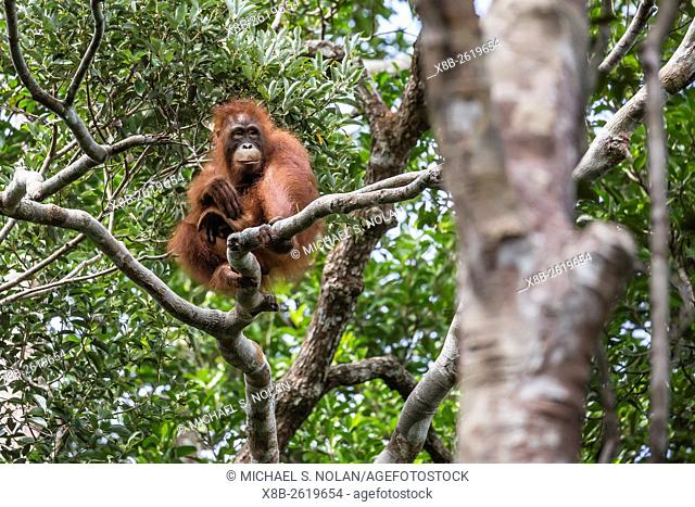 Reintroduced young orangutan, Pongo pygmaeus, in tree in Tanjung Puting National Park, Borneo, Indonesia