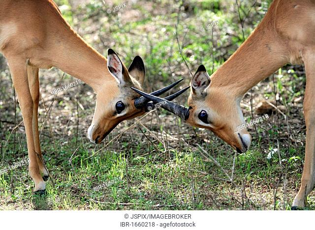 Impala (Aepyceros melampus), male, subadult, fighting, Kruger National Park, South Africa, Africa