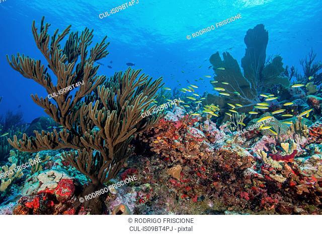 Reef life, Alacranes, Campeche, Mexico