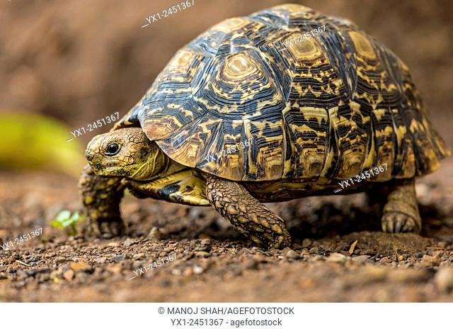 Leopard tortoise on the move, Masai Mara National Reserve, Kenya