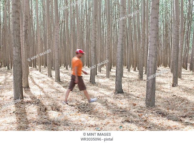 Man walking among poplar trees in commercial tree farm, Oregon