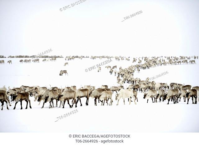 Reindeer (Rangifer tarandus) herd migrating in spring, Yar-Sale district, Yamal, Northwest Siberia, Russia