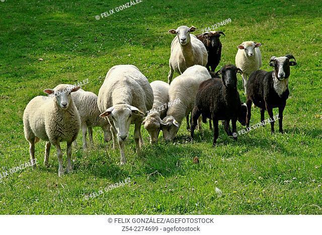 Domestic sheep and ram, Asturias, Spain