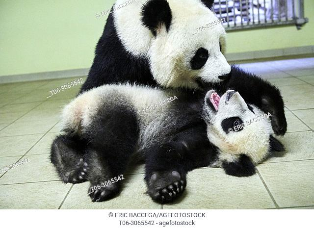 Giant panda female Huan Huan playing with her cub (Ailuropoda melanoleuca). Yuan Meng, first giant panda ever born in France, is now10 months old