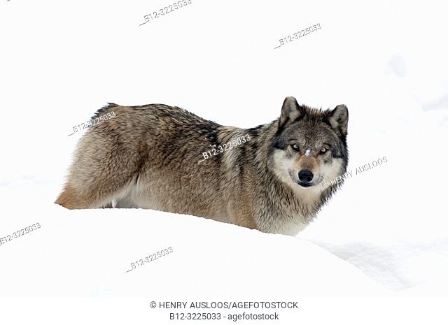 Grey wolf in the snow ( Canis lupus)