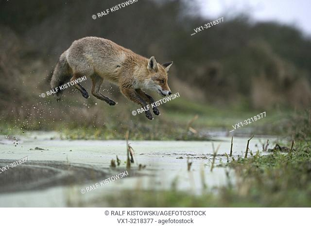 Red Fox / Rotfuchs ( Vulpes vulpes ), adult in winterfur, jumping over a little creek in a swamp, far jump, looks funny, wildife, Europe
