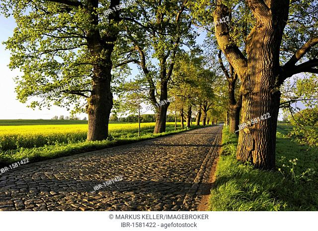 Oak alley (Quercus robur) with cobblestone street, between Putbus and Bergen, Ruegen Island, Mecklenburg-Western Pomerania, Germany, Europa