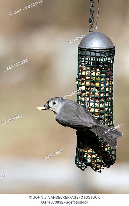 Tufted Titmouse, Baeolophus bicolor, eating a nut at a birdfeeder  New Jersey, USA, North America