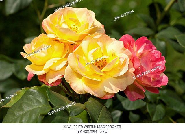 Firlefanz rose (Rosa), shrub, North Rhine-Westphalia, Germany
