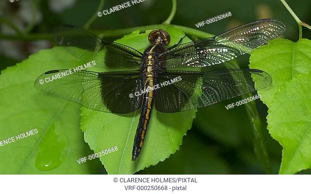 A teneral male Widow Skimmer (Libellula luctuosa) dragonfly perches on vegetation while its wings dry