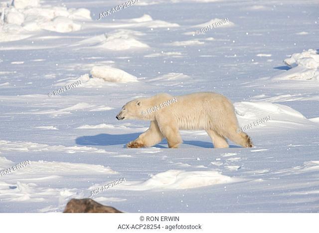 Polar Bear Ursus maritimus walking on on the coast of Hudson Bay near the Seal River estuary north of Churchill in Manitoba, Canada