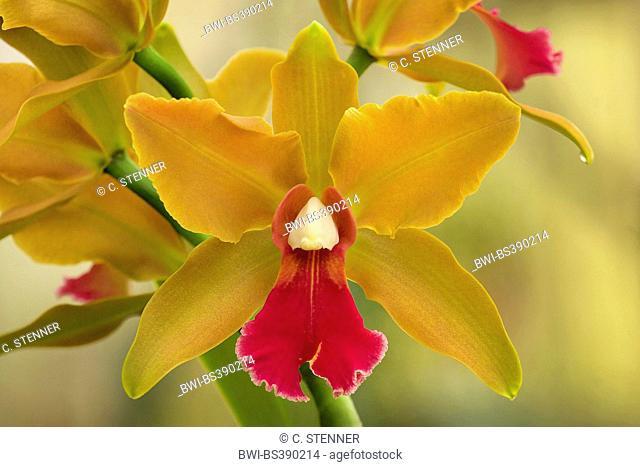 Cattleya orchid (Cattleya Belle O'Bronze x Cattleya Amberglow Magnificense), flower