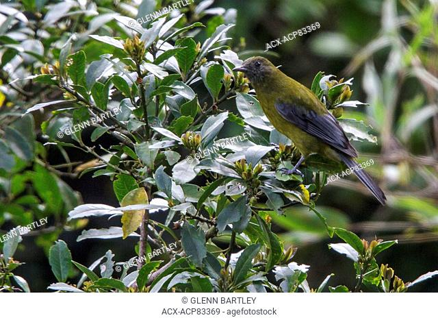 Gray-winged Cotinga (Tijuca condita) perched on a branch in the Atlantic rainforest of southeast Brazil
