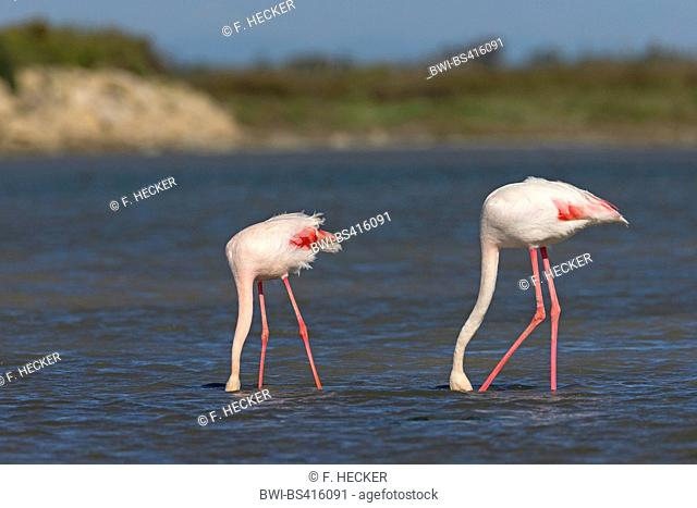 greater flamingo (Phoenicopterus roseus, Phoenicopterus ruber roseus), two flamingos walking together through shallow water and searching food