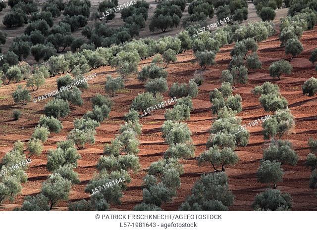 Olive grove, Spain