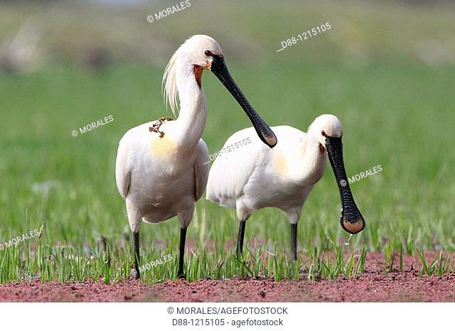 Eurasian Spoonbill or Common Spoonbill . Kerkini lake . Greece . Platalea leucorodia . Order: Pelecaniformes Family: Threskiornithidae