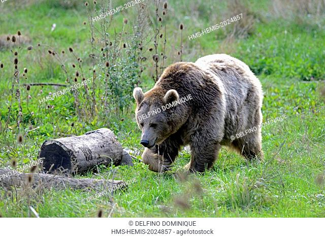 France, Moselle, Animal Park Saint Croix, Rhodes, Brown Bear (Ursus arctos) moving in a fallow field