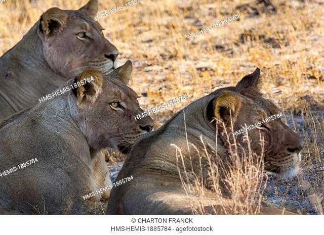 Botswana, Central Kalahari Game Reserve, Kalahari Plains Camp, lionesses at rest (Panthera leo)