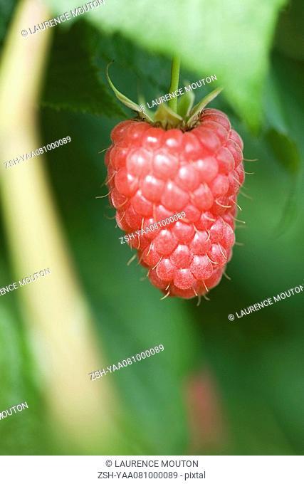 Ripe raspberry hanging by stem, close-up