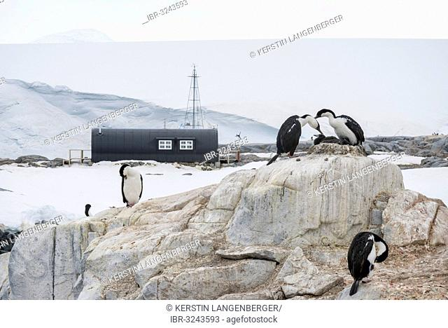 Imperial Shags, Blue-eyed Shags or Blue-eyed Cormorants (Phalacrocorax atriceps), in front of buildings at Port Lockroy