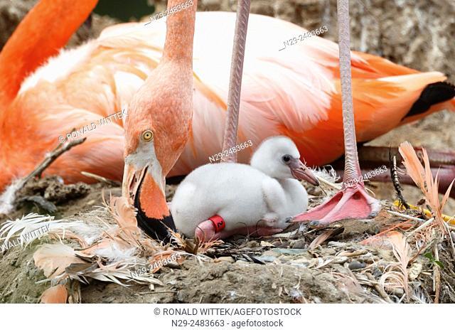 American flamingo, red flamingo, Chick, (Phoenicopterus ruber), captive, Germany