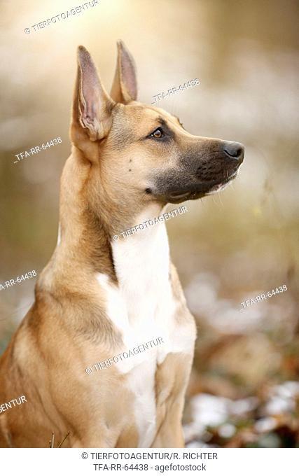 Malinois-Boxer-Mongrel Portrait