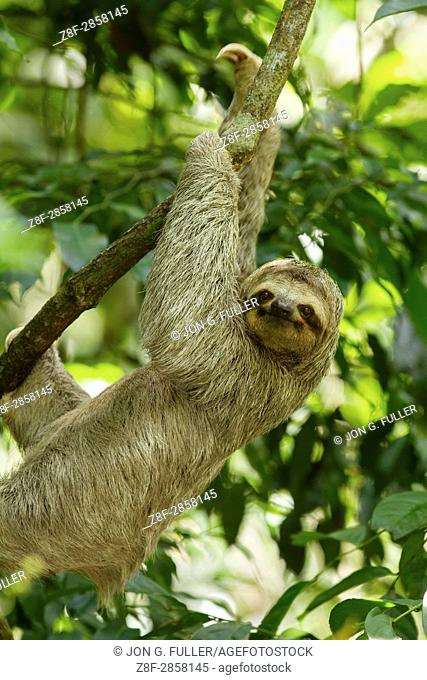 The Brown-throated Sloth, Bradypus variegatus, is a species of Three-toed Sloth found in Central and South America. Shown here in Costa Rica