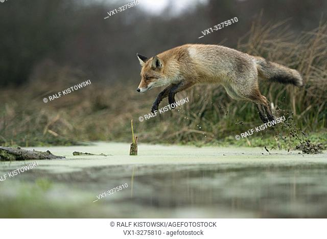 Red Fox ( Vulpes vulpes ), adult in winterfur, jumping over a swamp, far jump, wildife, Europe